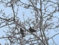 Lutte contre les Corbeaux Freux du Parc du Château