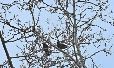 Lutte contre les corbeaux freux